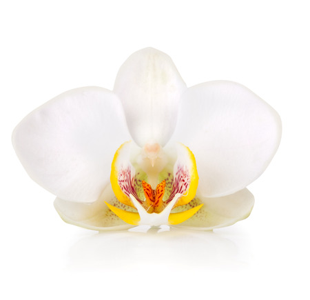 white blooming orchid isolated on white background photo