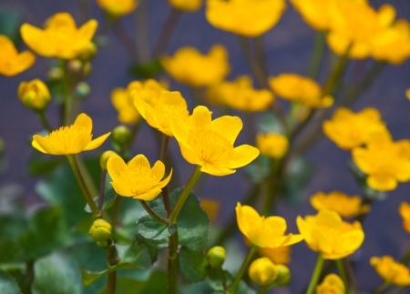 palustris: beautiful marsh marigold flowers in nature Stock Photo