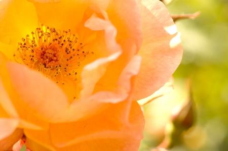 odorous: affectionate beautiful yellow rose detail