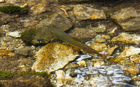Char in the clear mountain Alpine creek latin name Salvelinus alpinus