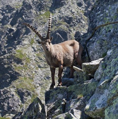 wild goat: El Alpine ibex, (Capra ibex), es una especie de cabra salvaje que vive en las monta�as de los Alpes europeos. En su zona de h�bitat, la especie se conoce como bouquetin (franc�s), Steinbock (alem�n), stambecco (italiano) y kozorog (esloveno). Foto de archivo