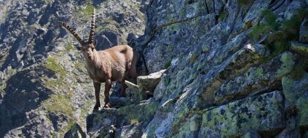 알파인 ibex (Capra ibex)는 유럽 알프스 산맥에 사는 야생 염소의 종입니다. 서식지 지역에서 종은 bouquetin (프랑스), Steinbock (독일), s