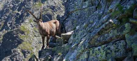 The Alpine ibex, (Capra ibex), is a species of wild goat that lives in the mountains of the European Alps. In its habitat region, the species is known as bouquetin (French), Steinbock (German), stambecco (Italian) and kozorog (Slovenian).