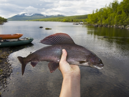 grayling: The grayling (Thymallus thymallus) is a species of freshwater fish in the salmon family (family Salmonidae) of order Salmoniformes this is from Sweden 50 cm catch on dry fly  Stock Photo