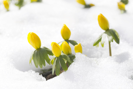 snow flowers: flowers Eranthis hyemalis one of first spring west middle east Europe flower  Stock Photo