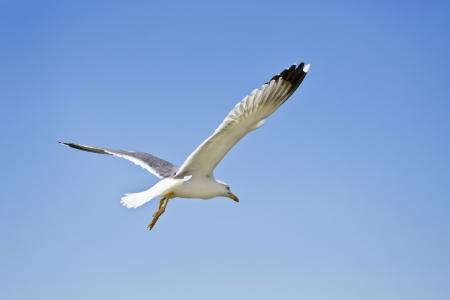 갈매기 푸른 하늘에 비행 스톡 콘텐츠