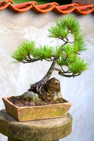 Chinese pine bonsai tree photo