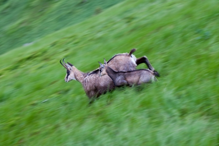 chamois in the mountains running in a meadow