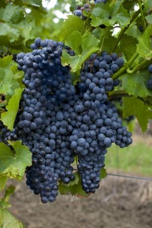 grapes of black vine
