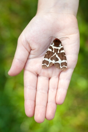 Night butterfly in hands (Arctia caia) Great Tiger Moth night butterfly photo