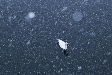 cygnus: swans in winter on the lake coast and snow
