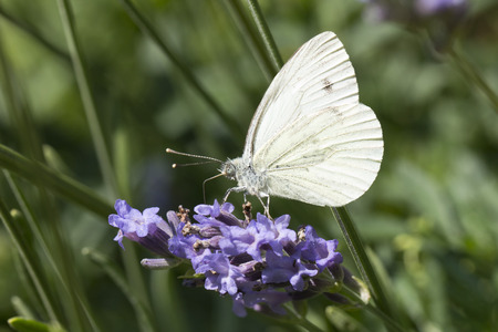 Cabbage Butterfly photo