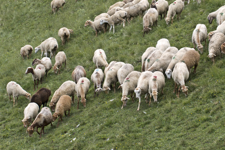 caucas: sheeps in the Caucas mountines at Azerbijan