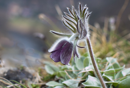 beautiful rare: Pulsatilla pratensis Pasque beautiful spring flowers protected and rare