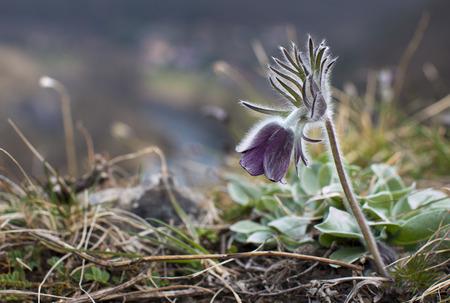 pulsatilla: Pulsatilla pratensis Pasque beautiful spring flowers protected and rare