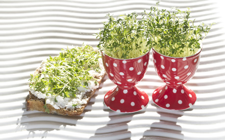 water cress: fresh cress geow in eg cup and whole corn bread (lepidium sativum)
