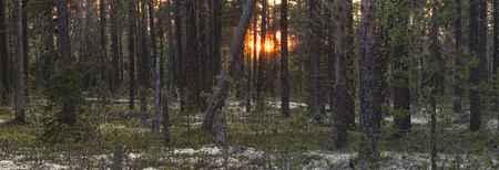 tiga forest with white night at penisula Kola Russia, midnight