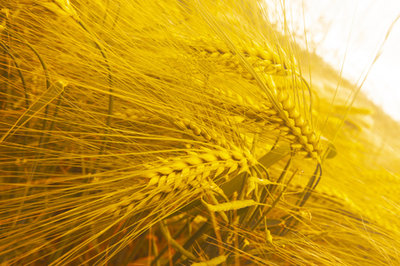 Barley Hordeum vulgare, a member of the grass family