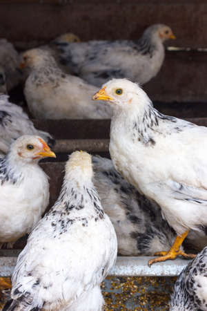 henhouse: Chickens in the henhouse Stock Photo