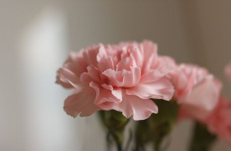 Delicate pink carnation flowers on a light background
