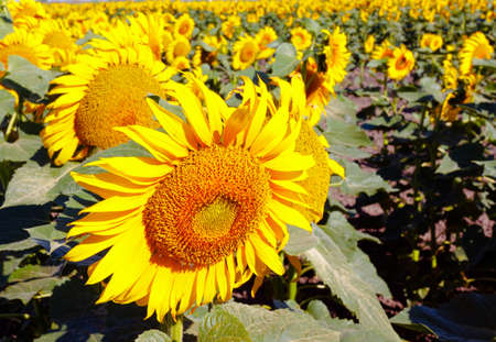 A large sunflower field on a sunny summer day Stock Photo