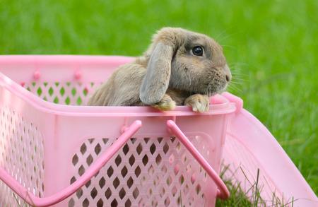 lop eared: cute little lop-eared rabbit in a basket