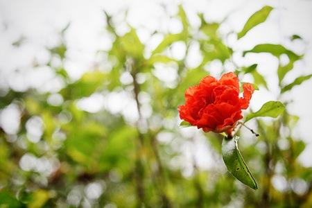 malvaceae: red malvaceae Stock Photo