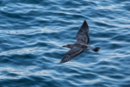 Flying sea mew Stock Photo