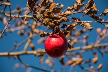 Red apple on a tree in winter Stock Photo