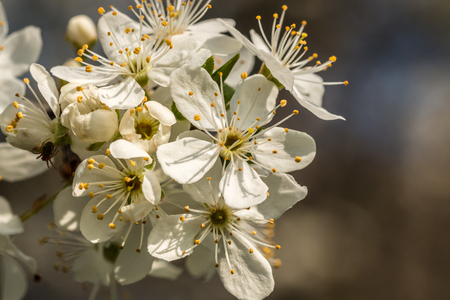 White apple blossoms on the apple tree