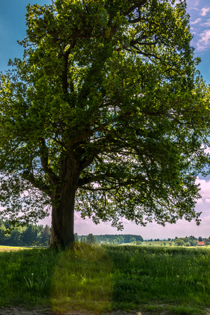 Green fields and a big tree