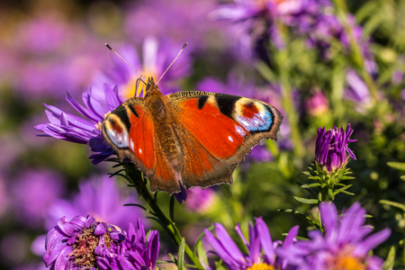 Butterfly on violet flowers