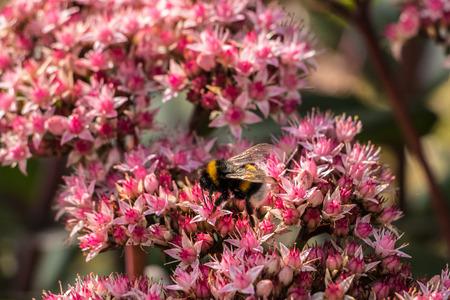 Bumbblebee on pink flowers