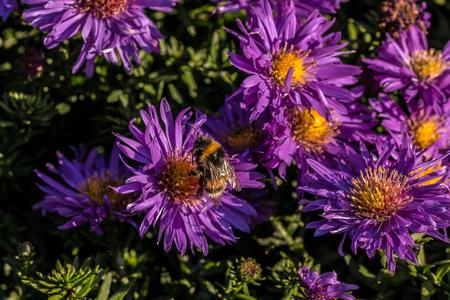 Bumbblebee on flowers