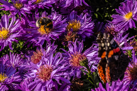 Butterfly and Bumbblebee on purple flowers