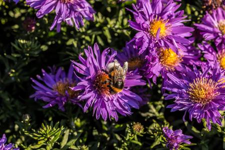 Bumbblebee on violet flowers Stock Photo