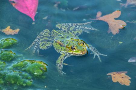 Großer Frosch im See