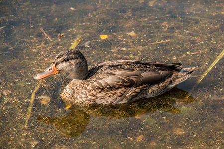 Einsame Ente auf dem See Standard-Bild