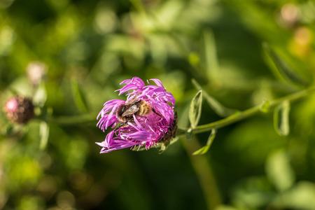 Bumblebee on violet flowers