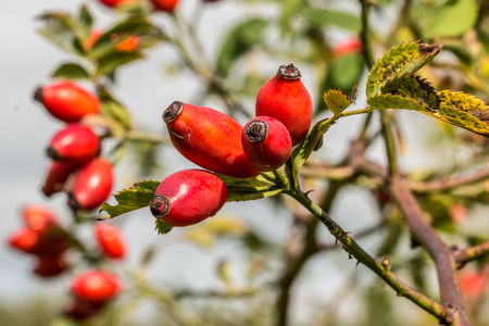 Red rose hips in the park