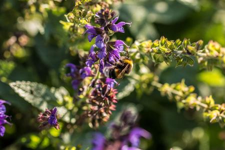 Bumblebee on violet flower