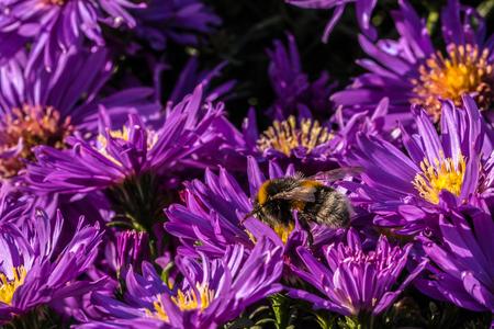 Hummel auf violetten Blüten