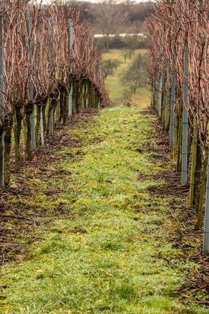 Vineyard and long lines of grapevines