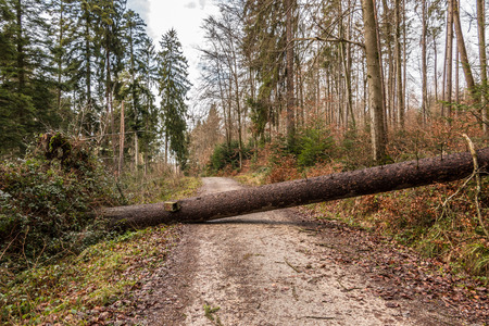 Big tree fallen across the woodland path after a big storm