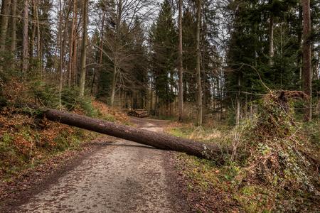Big tree fallen across the woodland path after a big storm