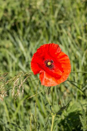 Red poppy on a german grain field Stock Photo
