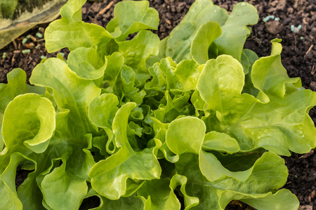 Fresh salad on the field of the raised planted bed