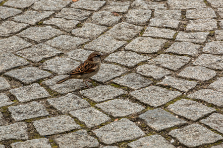 Brave little sparrow on the stony ground of the town 스톡 콘텐츠