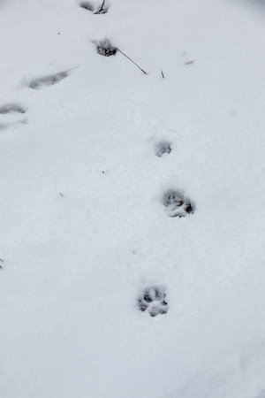 Foot prints of a dog or a wolf on the white snow 免版税图像