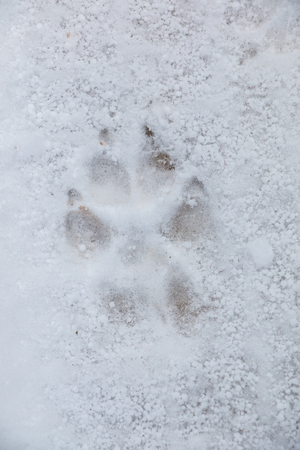 Foot print of a dog or a wolf on the white snow 免版税图像